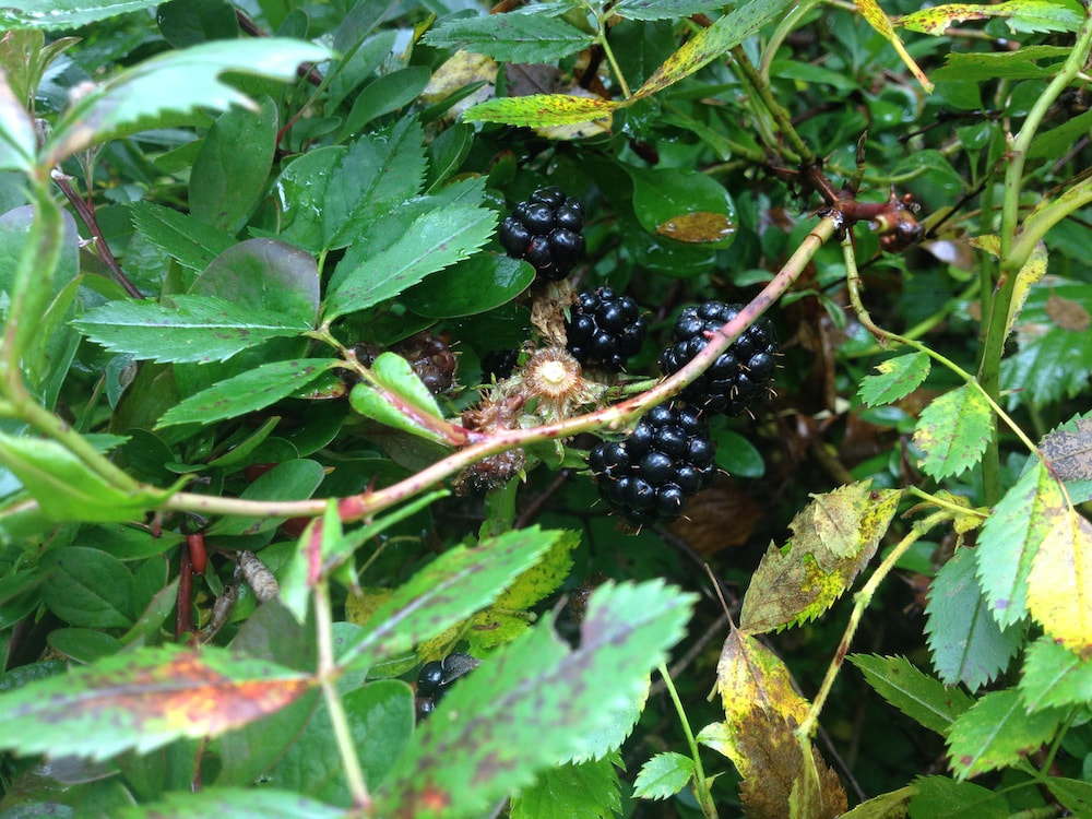 Blackberries in New Harbor, Maine